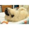 очаровательные щенки пекинеса